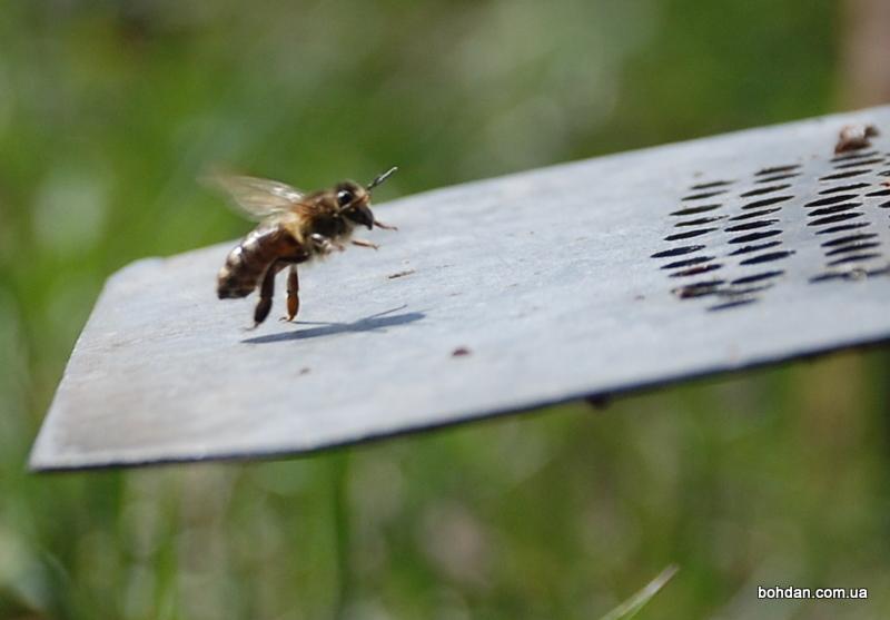 бджола сідає