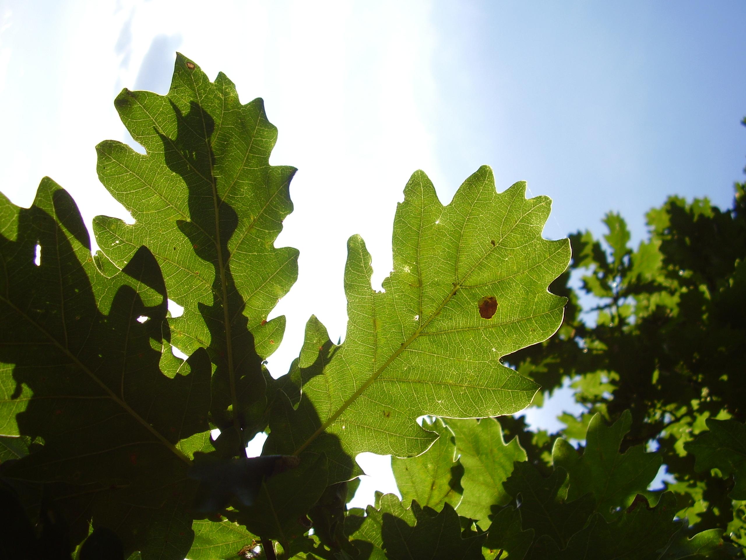 листя, що грається із сонцем